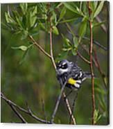 Yellowrumped Warbler Canvas Print