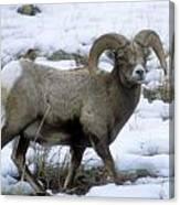 Yellowstone Big Horn Sheep Canvas Print