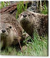 Yellowstone River Otters Canvas Print