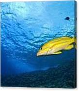 Yellowtail Snapper, Molokini Crater Canvas Print