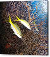 Yellowtail Snappers And Sea Fan, Belize Canvas Print