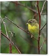 Yellowthroated Warbler Canvas Print