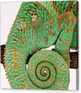 Yemen Chameleon, Close-up Of Coiled Tail Canvas Print