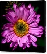 Yoho - Subalpine Fleabane Wildflower  Canvas Print