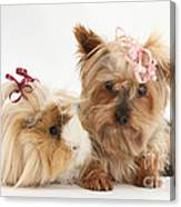 Yorkshire Terrier And Guinea Pig Canvas Print