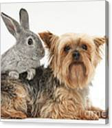 Yorkshire Terrier And Young Silver Canvas Print