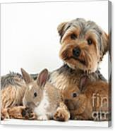 Yorkshire Terrier Dog And Baby Rabbits Canvas Print