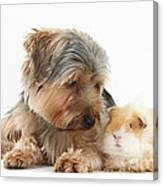 Yorkshire Terrier Dog And Guinea Pig Canvas Print