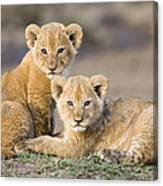 Young African Lion Cubs  Canvas Print