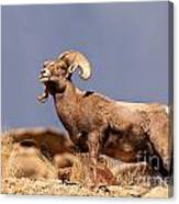 Young Bighorn Canvas Print