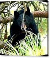 Young Black Bear Canvas Print