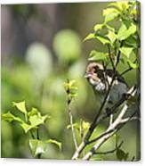 Young Blue Grosbeak Canvas Print