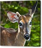 Young Buck 2 Canvas Print