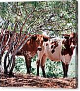 Young Bulls Canvas Print