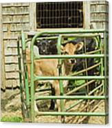 Young Calf In Fence Pen Near Barn Summer Maine Canvas Print