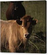 Young Calf Canvas Print