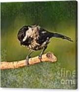 Young Chickadee Canvas Print
