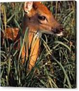 Young Deer Laying In Grass Canvas Print