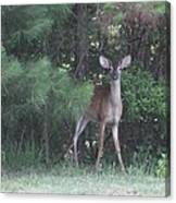 Young Deer Peering Out Of The Woods Canvas Print