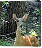 Young Doe At Side Of The Road Canvas Print