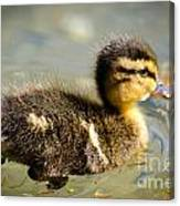 Young Duck Canvas Print