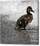 Young Duck On The Beach Canvas Print