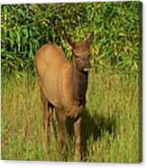 Young Elk Canvas Print