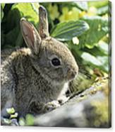 Young European Rabbit Canvas Print