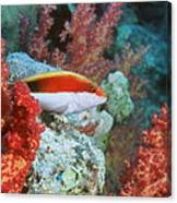 Young Forster's Hawkfish Canvas Print