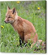 Young Fox Among The Dandelions Canvas Print