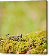 Young Grasshopper Canvas Print
