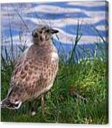 Young Gull Canvas Print