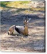 Young Ibex Canvas Print