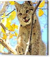 Young Lynx In A Tree Canvas Print