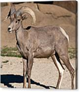 Young Male Bighorn Canvas Print