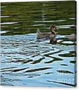 Young Male Garganey Canvas Print