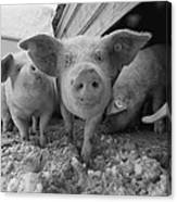 Young Pigs In A Snowy Pen. Property Canvas Print