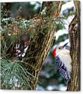 Young Red-bellied Woodpecker Canvas Print