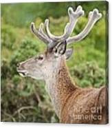 Young Red Deer Canvas Print