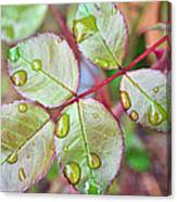 Young Rose Leaves Canvas Print