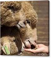 Young Sheep Are Hand Fed Canvas Print