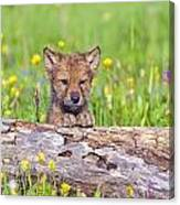 Young Wolf Cub Peering Over Log Canvas Print