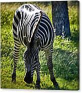Zebra At Close Range Canvas Print