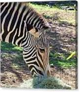 Zebra At Lunch Canvas Print