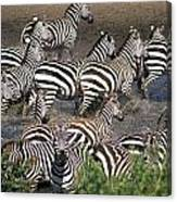 Zebra At Waterhole Canvas Print