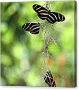 Zebra Butterflies Hanging Out Canvas Print
