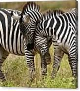 Zebra Hug Canvas Print