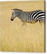 Zebra In Grasses Canvas Print