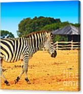 Zebra In The Grassland  Canvas Print
