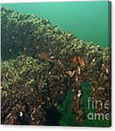 Zebra Mussels Canvas Print